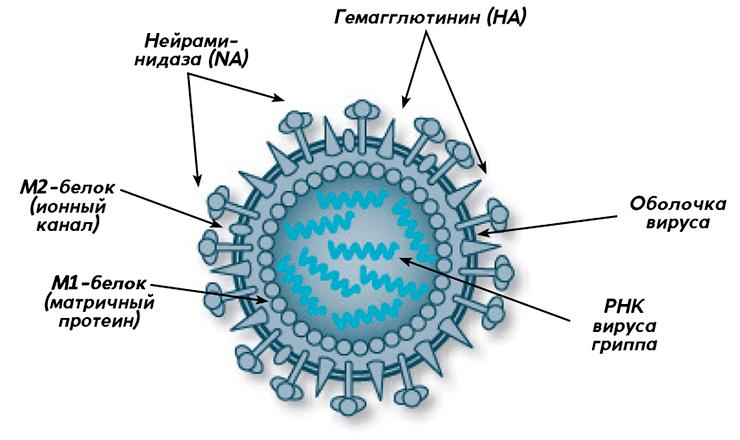 Вакцина Совигрипп: форма випуску, склад, коли і як вводиться